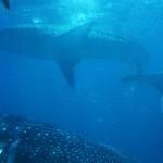 Are Women CEOs More Rare than Shark Attacks?